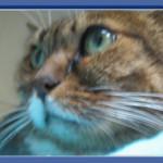 חתוש - חתולה עם ציסטה סביב הכליה