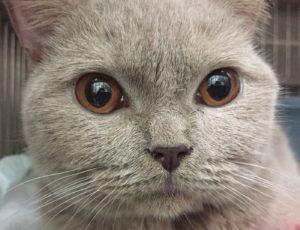 liver shunt cat eye