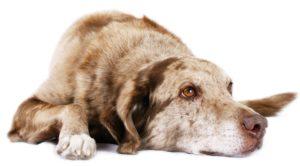 כלבה עם מולטיפל מיילומה