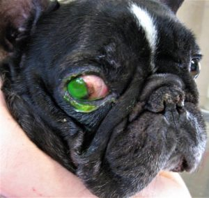 כיב קרנית בכלב צבוע בפלורסין