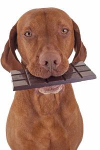 כלב אוכל שוקולד מריר