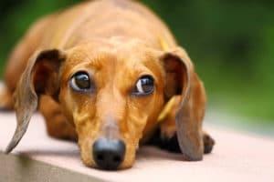 dachshund small - כלבה צולעת