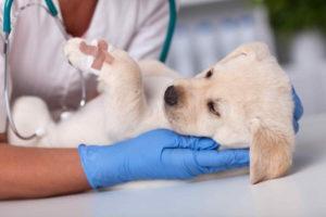 אשפוז כלב בבית חולים וטרינרי
