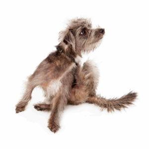 למה הכלב מתגרד?