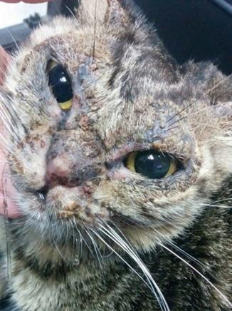 לקויות פמפיגוס בחתולה