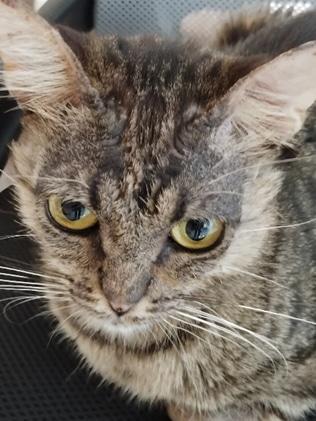 פמפיגוס לאחר טיפול בחתולה