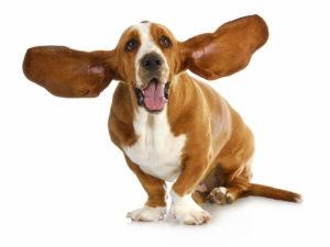 דלקת אוזניים בכלב