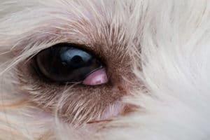 cherry eye dog