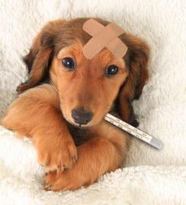 עזרה ראשונה לכלב חולה בבית