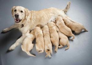 כלבה לאחר המלטה