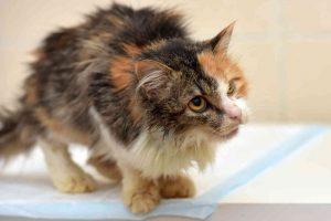 חתול עם פעילות יתר של בלוטת התריס