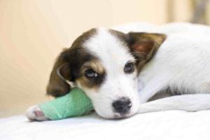 דלקת מעיים דמית בכלבים