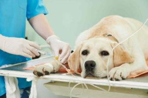 טיפול בכלב עם היפוך קיבה