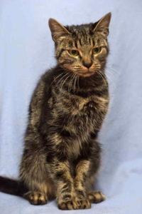 חתול רזה בשל מחלת כליה כרונית