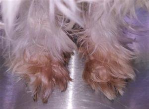 salivary staining dog