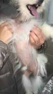 כלב פומרניאן עם מחלת העור השחור