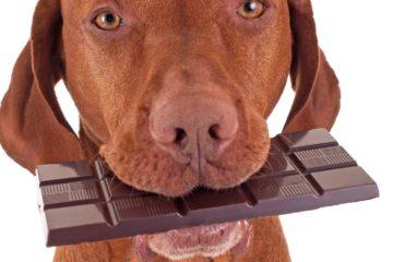 הרעלת שוקולד בכלבה