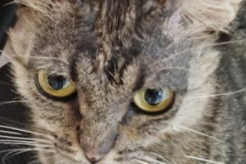 פמפיגוס בחתולה