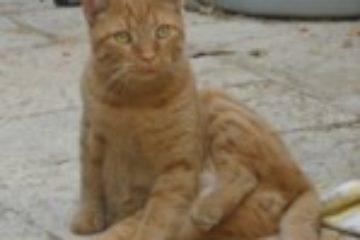 נוקי החתול והניתוח שהציל את חייו