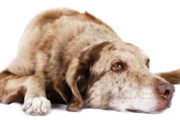 שושה הכלבה שהתעלפה