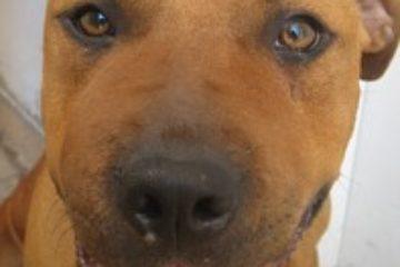 הפנים הנפוחות של שוקו הכלבה