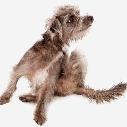 vet darmatology dog